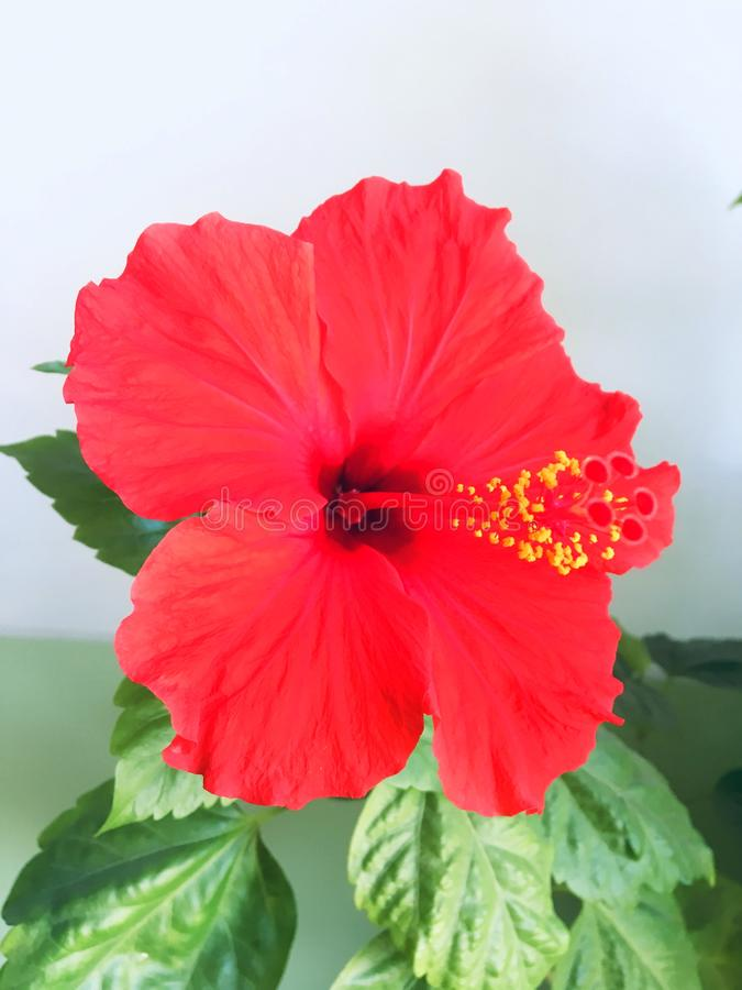 Big red flower royalty free stock photography