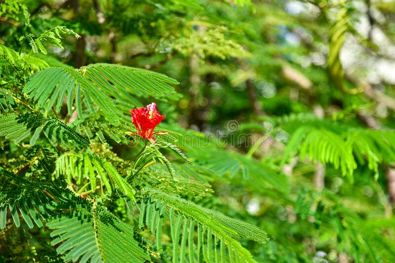 Big red flower on a tree royalty free stock photography