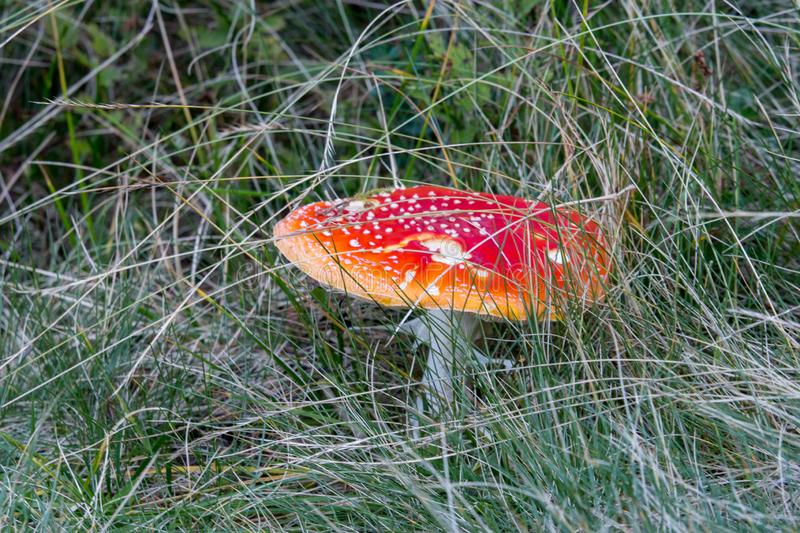 Big red fly agaric in grass. Beautiful growing amanita muscaria close up. Poison mushroom concept. Autumn harvest. stock photos