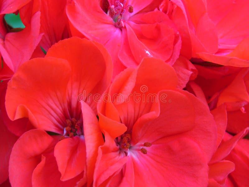 Big Red Geranium. Hot red geranium bloom background. stock photo