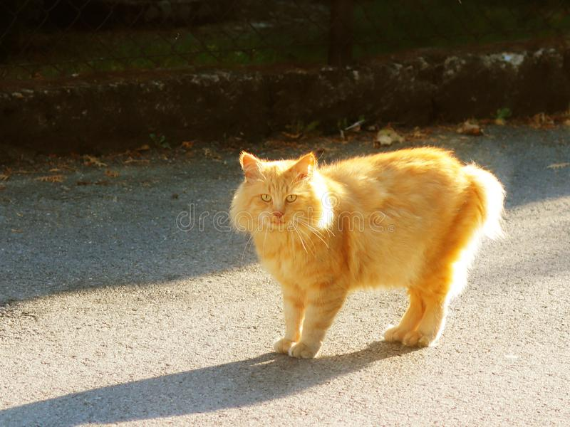Big red-haired cat looks at what is happening with surprise. Watchful pet. Walk favorite pet along the city street. Protecting ani stock photography