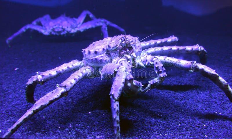 Big red king crab royalty free stock photos