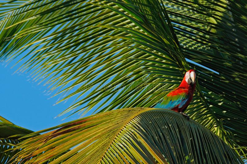 Big red parrot Red-and-green Macaw, Ara chloroptera, sitting on the branch, palm tree. Trinidad and Tobago. Wildlife scene in natu. Re. Birdwatching in America stock photography
