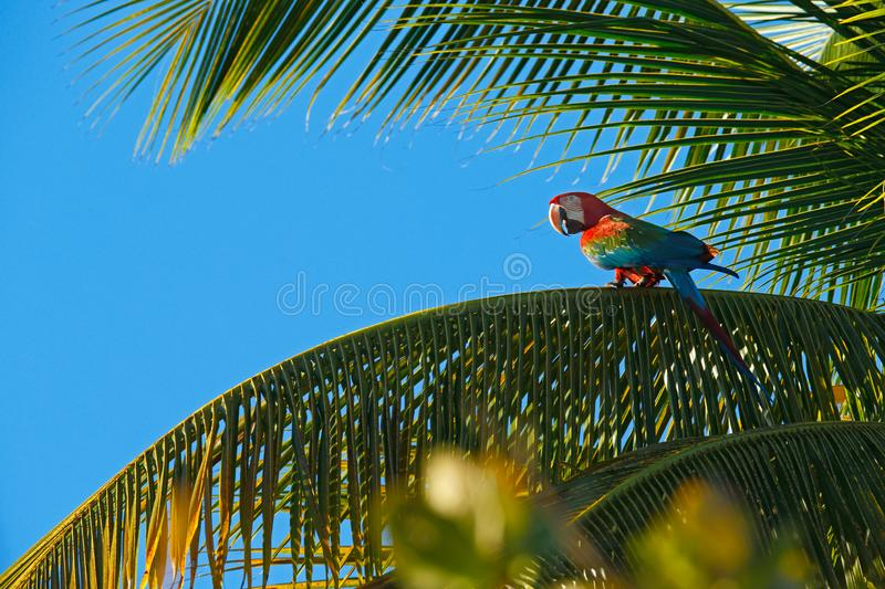 Big red parrot Red-and-green Macaw, Ara chloroptera, sitting on the branch, palm tree. Trinidad and Tobago. Wildlife scene in natu. Re. Birdwatching in America stock photos