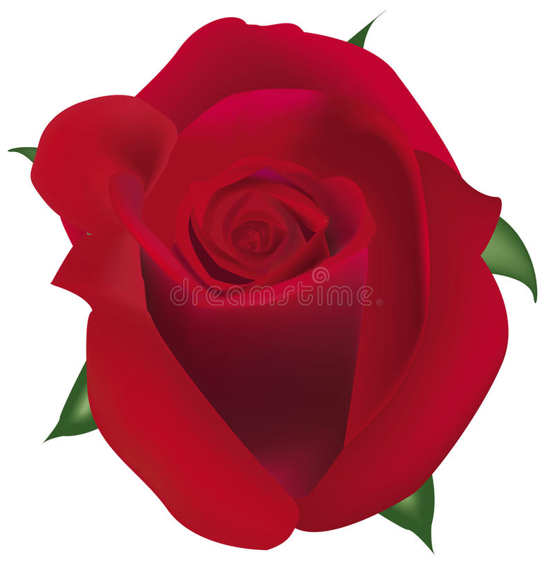 Big Red Rose. Stock Images