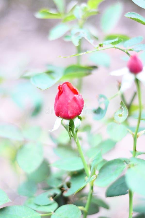 Big red rose flower stock image
