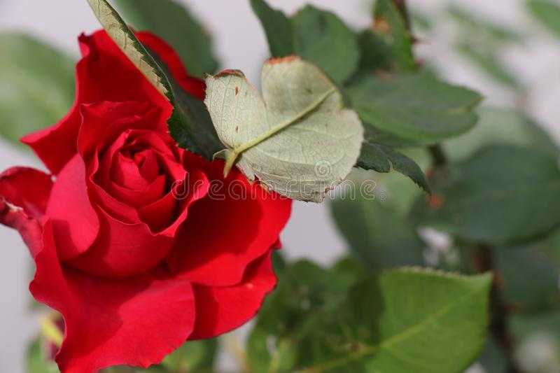 Big red rose in a garden, symbol of love, romance, admiration and celebration. Valentine`s Day, birthday, anniversary gift. Big red petals in a green stock images