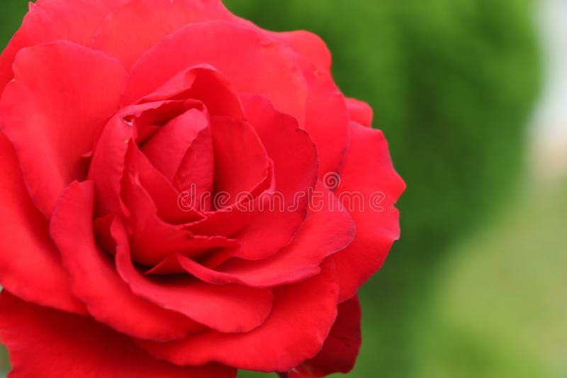 Big red rose in a garden, symbol of love, romance, admiration and celebration. Valentine`s Day, birthday, anniversary gift. Big red petals in a green stock photography