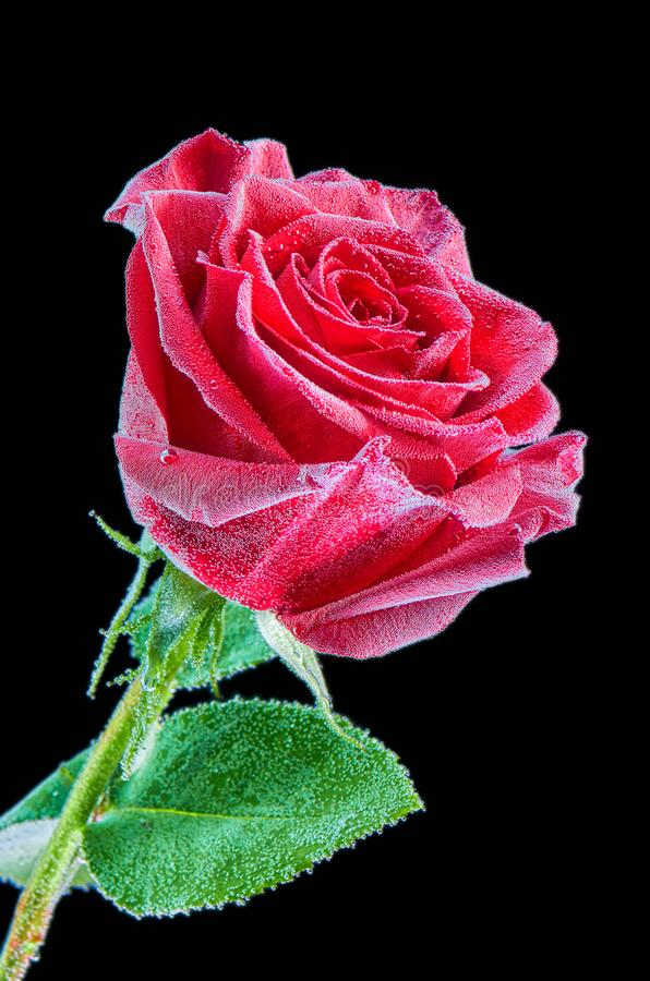 Red rose under water with bubbles on a black background. Closeup image isolated on black background stock images