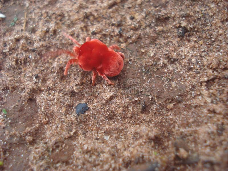 Red velvet mite Trombidium holosericeum. This big red Velvet mite, with its strawberry-like body, is walking on a brick wall hunting for food royalty free stock photography
