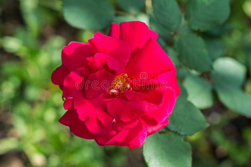 Big red wild rose flower in a garden, close up. Blurred background royalty free stock photography
