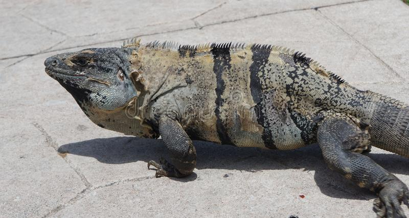 Big adult iguana. Big reptile taking a sun bath while changes his skin, big grey and green iguana with pieces of his old skin hanging of his neck royalty free stock photo