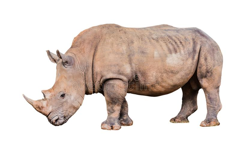 Big rhino in the zoo  isolate white background with clippingpath.  royalty free stock photo