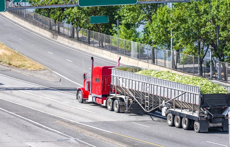 Big rig classic red semi truck transporting harvest of corn cobs in bulk semi trailer driving in the road intersection. Big rig American classic red powerful royalty free stock photography