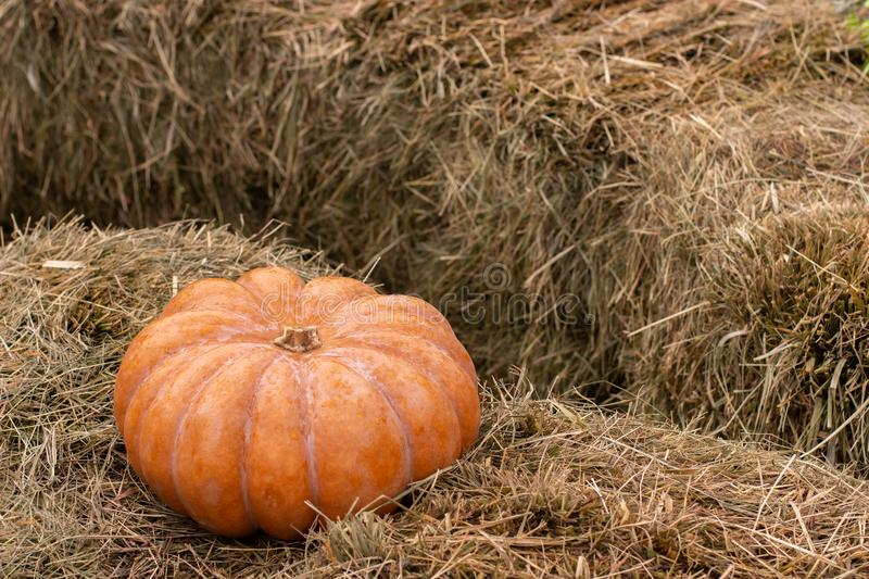 Big ripe orange pumpkin on a haystack, copy space background postcard. Harvesting vegetables. Halloween decoration royalty free stock photo