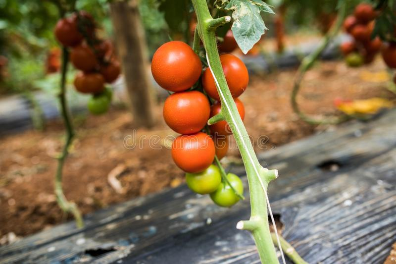 Big ripe red tomato fruits hanging on the branch in greenhouse in summertime, close-up stock images