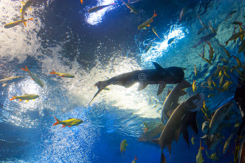 Big river fish in tropical fish tank royalty free stock images