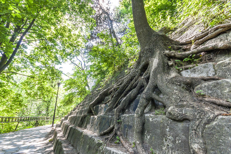 Big roots of an old tree on the stones. Beauty in nature. royalty free stock images
