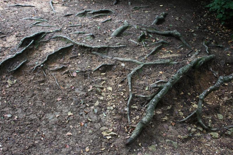 Big roots of a tree. In a forest stock photo