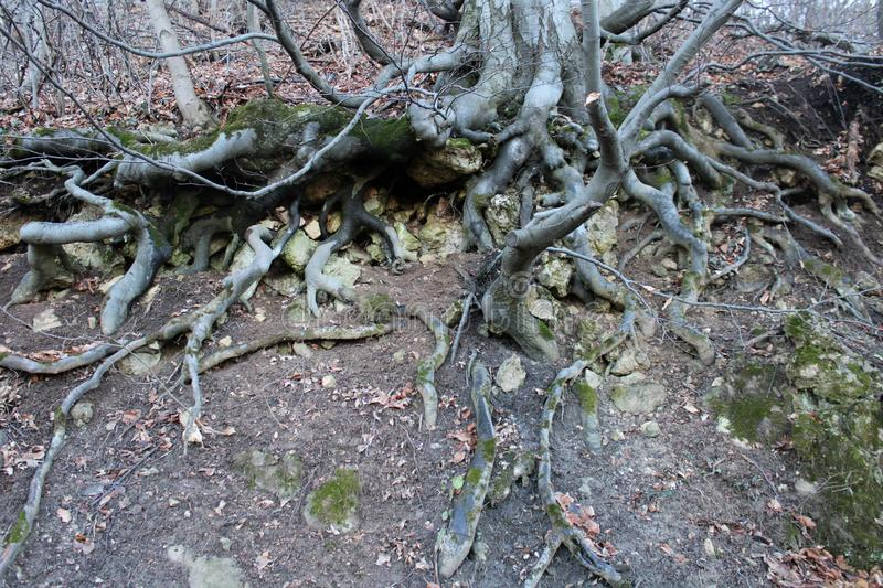 Big roots of a tree. In a forest stock photography