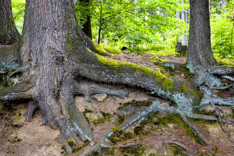 Big roots of tree in forest above the surface. royalty free stock image