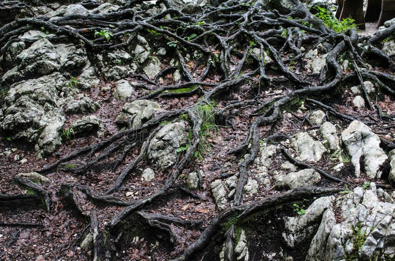 Big roots of a tree. In a forest stock image