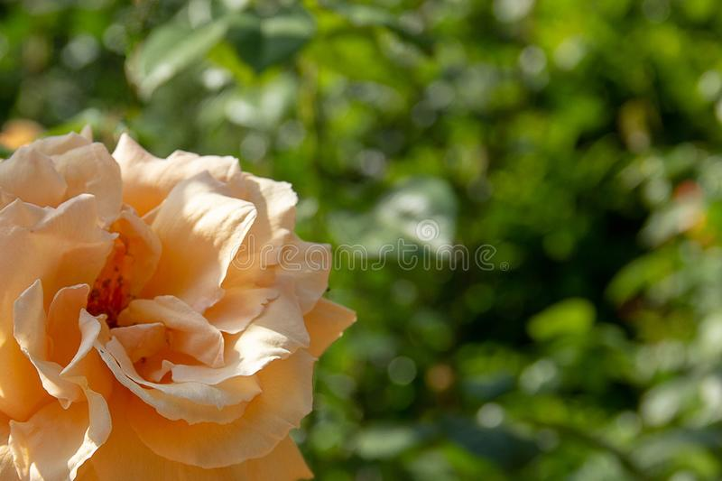 Rose peach color in a summer garden royalty free stock images