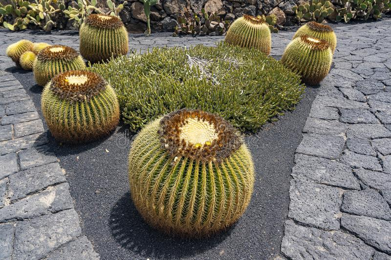 Big round cacti, with a crown of yellow flowers, in the Jardin de Cactus, Lanzarote, Spain.  royalty free stock image