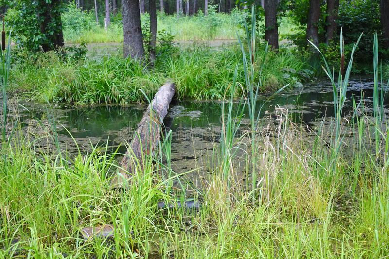 Big round log through the swamp. A footpath through river by dangerous slippery log. royalty free stock image