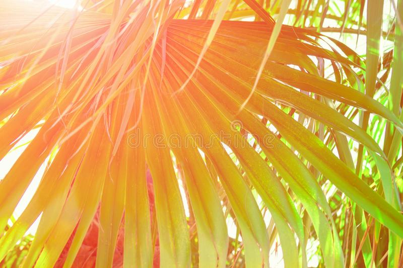 Big Round Spiky Palm Leaf Golden Pink Sun Flare Hipster Toned Poster Banner Template Tropical Foliage Background Vacation. Tourism royalty free stock images
