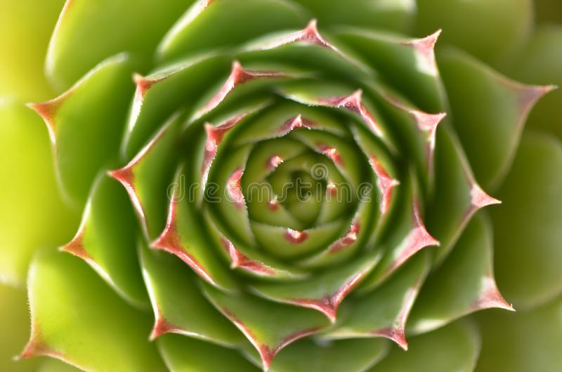 Big round succulent stock images