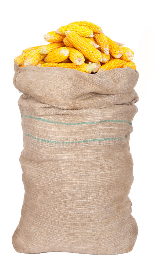 Big sack of corn cobs. On white royalty free stock photography