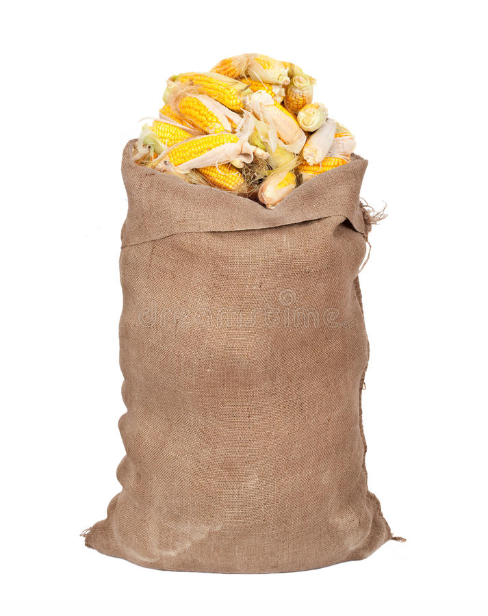 Big sack of corn cobs. On white royalty free stock photo