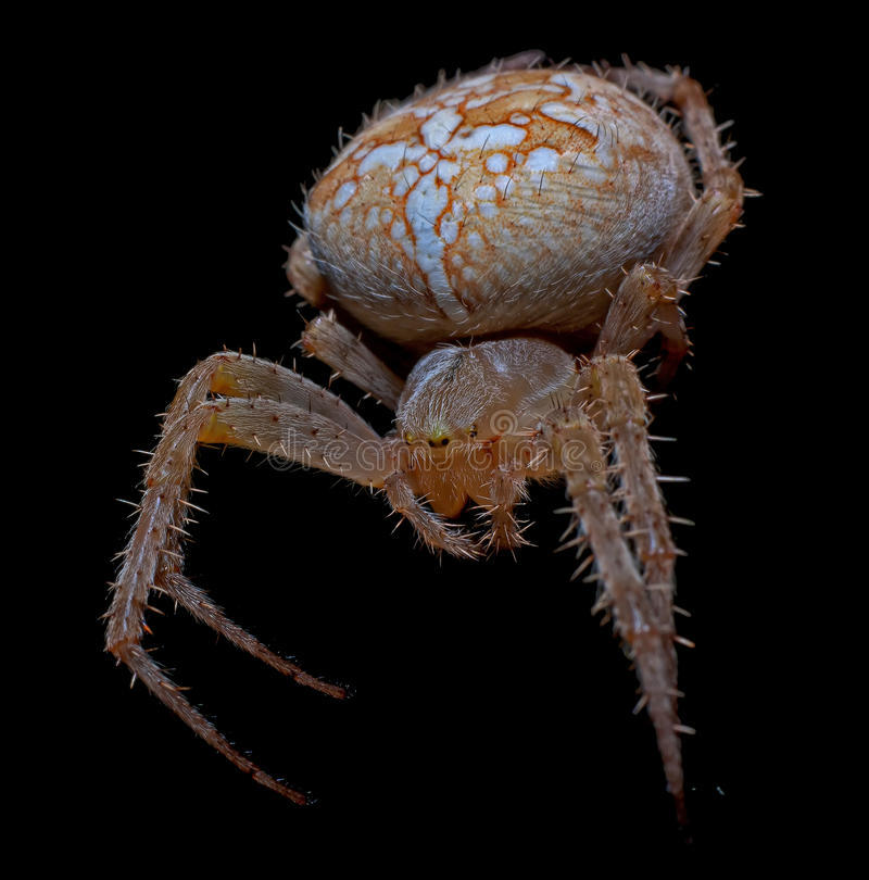 Big scary spider stock photography