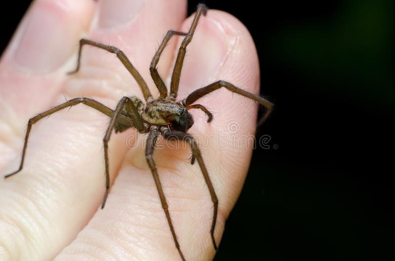 Big scary spider on hand. Animal arachnid arachnophobia background bite black brown bug chelicerae close closeup crawl creature creepy danger dangerous eyes royalty free stock photos