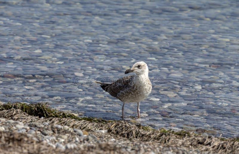 Big sea gull Larus marinus close-up by the sea stock photo