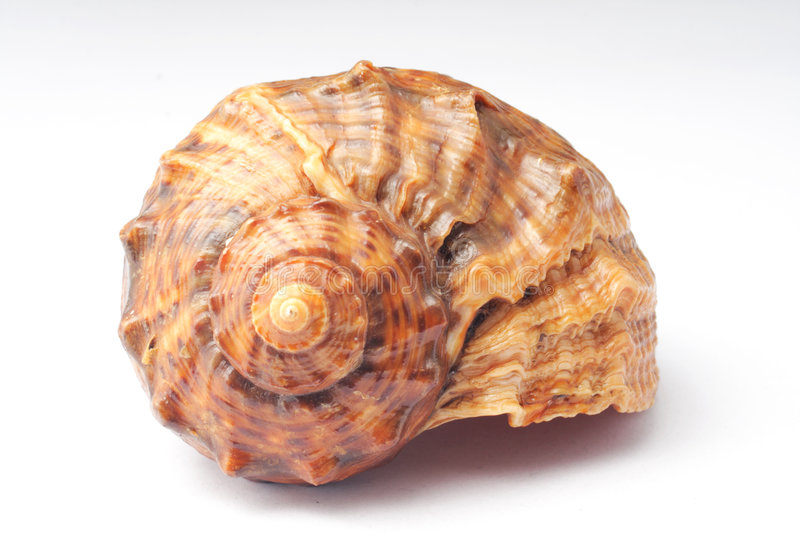 Download Big sea snail shell stock image. Image of white, nature - 3303329