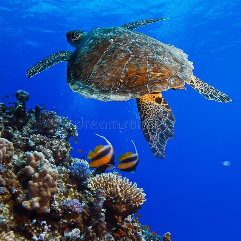 Download Big sea turle underwater stock image. Image of maldives - 28259731