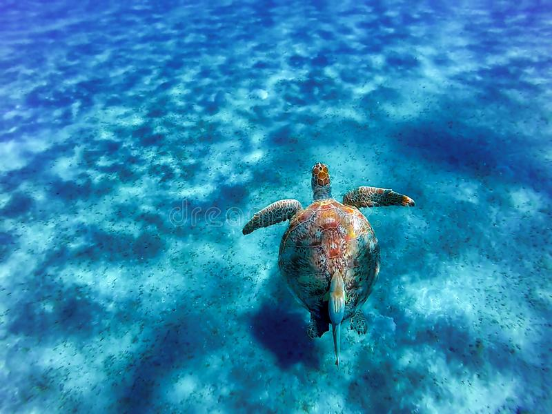 Big sea turtle Eretmochelys imbricata with sticky fish. In the clear waters of the bay of Abu Dabab in Marsa Alam, Egypt royalty free stock images