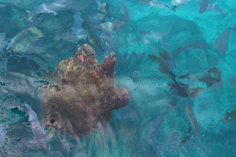 Big sea turtle stock images