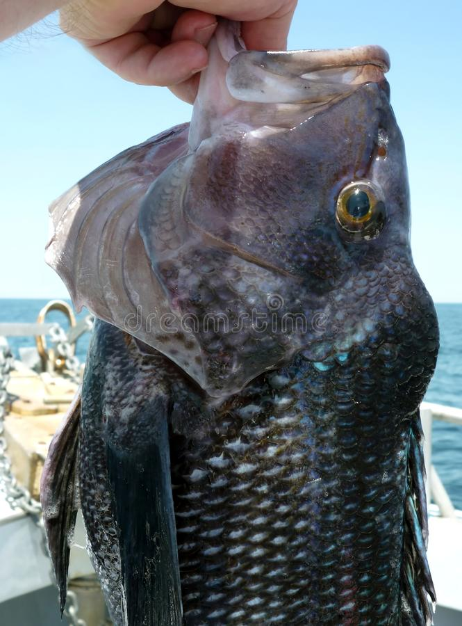 Big Seabass Catch. Photo of large seabass caught on a headboat off the coast of ocean city maryland. This fish put up a tough battle and at around 20 inches one royalty free stock images