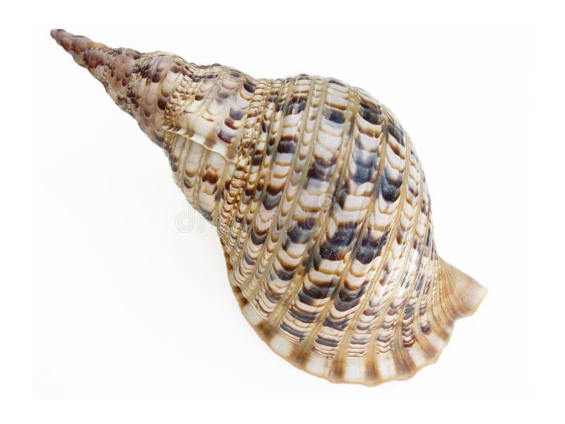 Download Big seashell stock image. Image of aqua, extracted, lagoon - 21181
