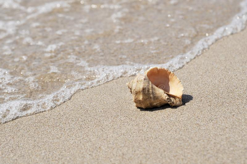 Big seashell in sea on the beach. stock photo