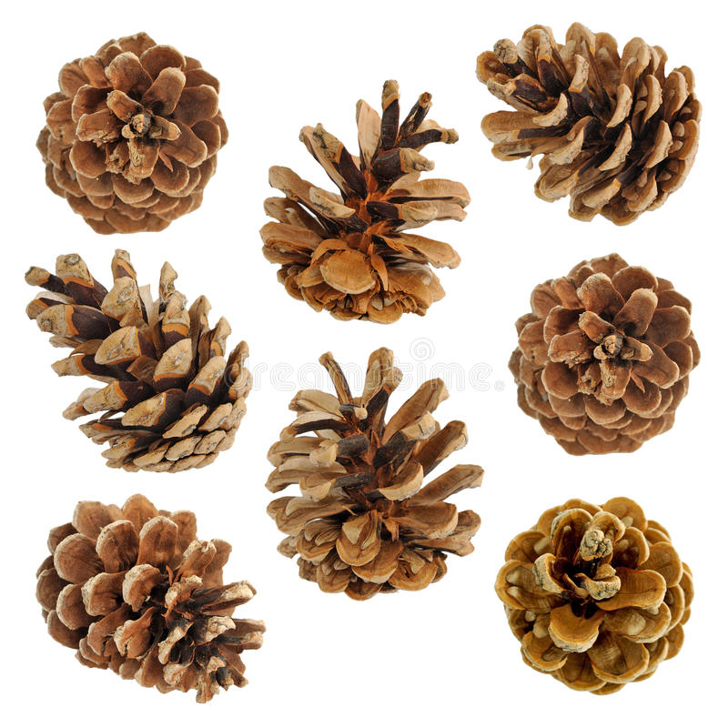 Big set of cones various coniferous trees stock image