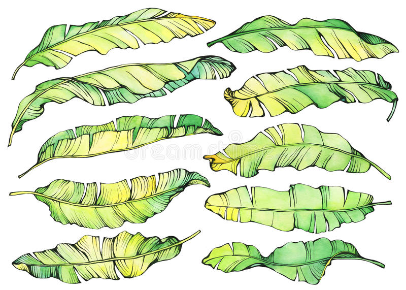 Big set exotic tropical banana green and yellow leaves. stock illustration