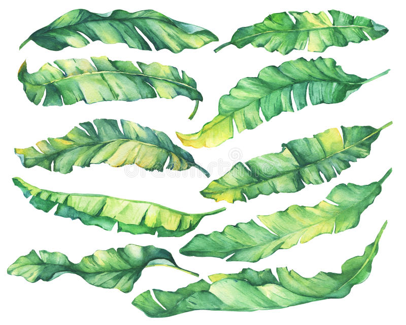 Big set exotic tropical banana green and yellow leaves. vector illustration