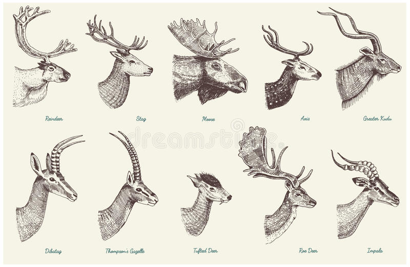 Big set of Horn, antlers Animals moose or elk with impala, gazelle and greater kudu, fallow deer reindeer and stag, doe. Or roe deer, axis and dibatag hand royalty free illustration