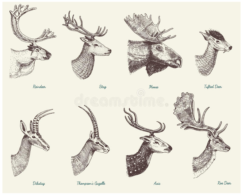 Big set of Horn, antlers Animals moose or elk with impala, gazelle and greater kudu, fallow deer reindeer and stag, doe. Or roe deer, axis and dibatag hand vector illustration