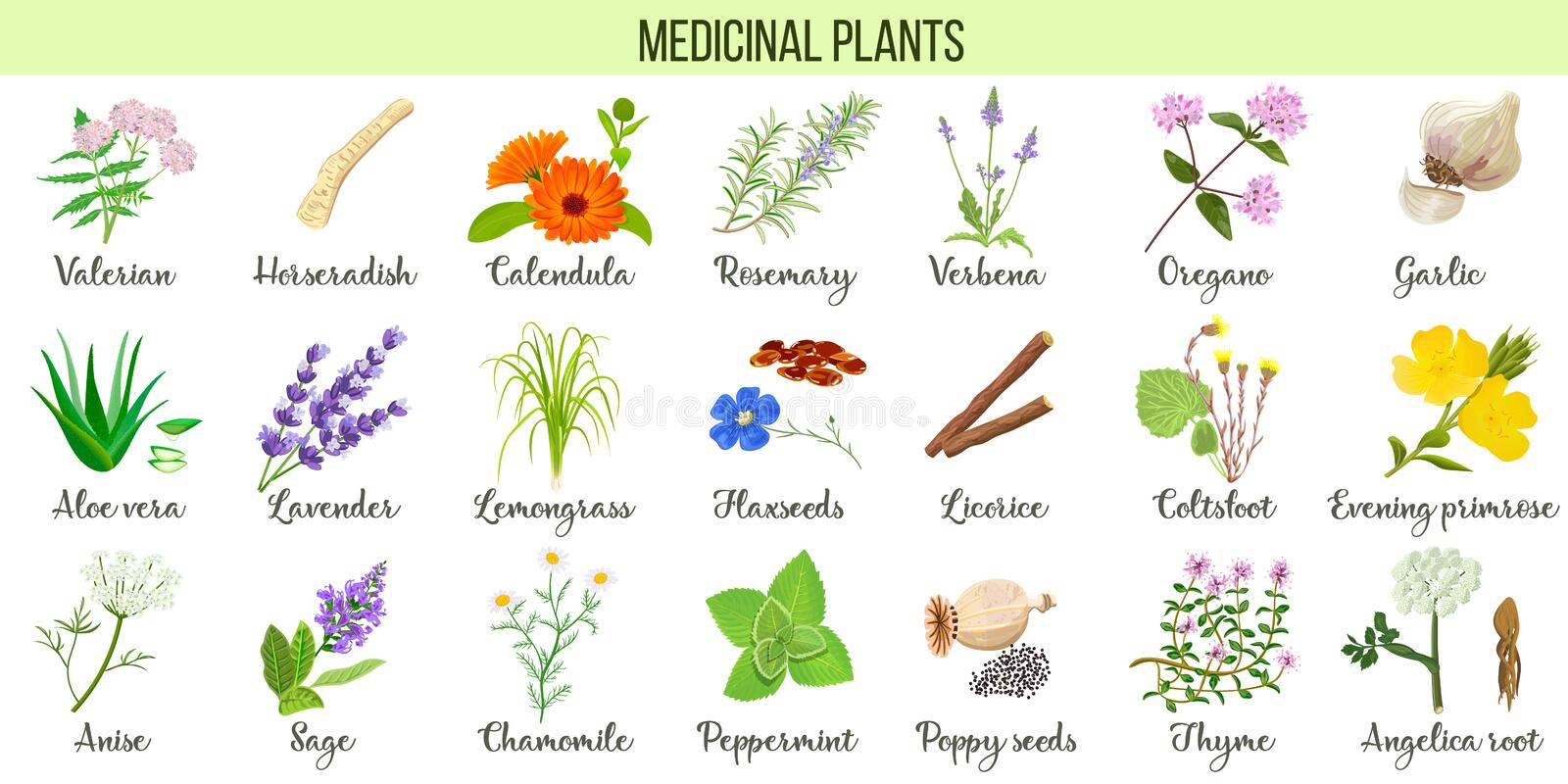 Big set of medicinal plants. Valerian, Aloe vera, lavender, peppermint, angelica root, Chamomile, verbena, anise. Coltsfoot thyme etc For health care royalty free illustration