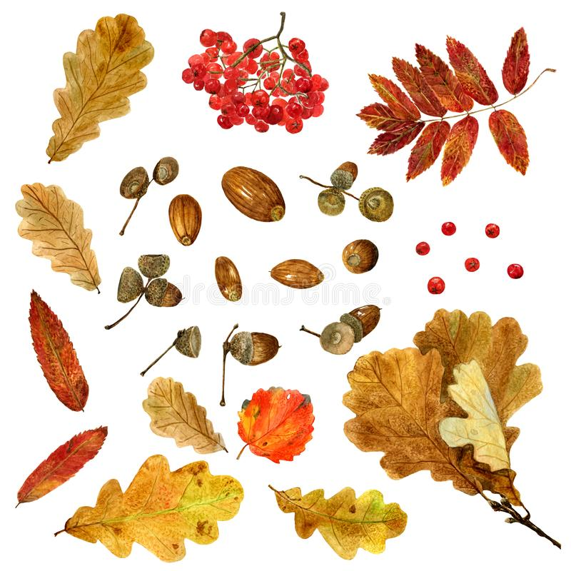 Big set of watercolor autumn oak, rowan, aspen leaves and acorns. Fall collection of natural hand drawn elements: foliage and branches for design on white stock illustration